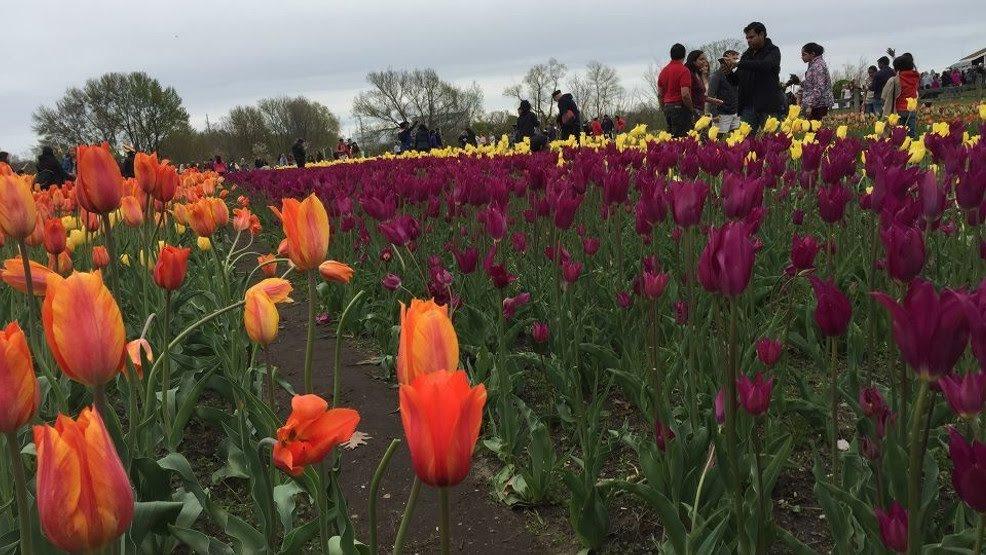 El Festival de Tulipanes de Holland anuncia eventos para 2021